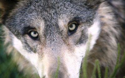 way of wolf online programma wild ondernemen persoonlijk leiderschap authentiek groeien ziel hart wild wolf eigen manier ondernemen